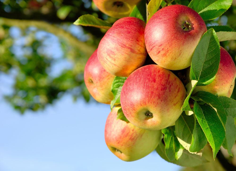 Owoce Jablka HD 047